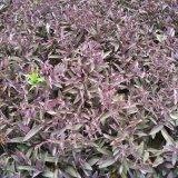 紫叶酢浆草
