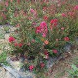红火球紫薇