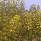 金叶复叶槭嫁接苗批发