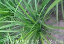 鲜麦冬草坪