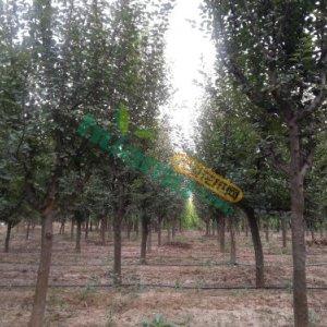 光皮木瓜树