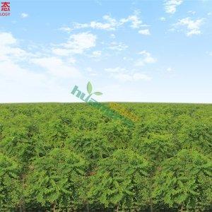 香花槐1-12CM