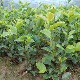 品种优良存活率高的油茶苗
