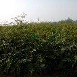 优质花椒苗