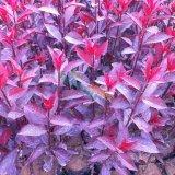 陕西周至紫叶矮樱