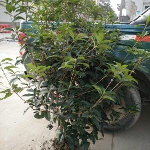 四季桂绿篱