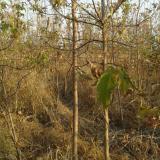 四年生糖槭树苗