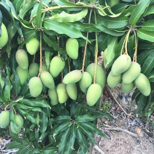 台农芒果苗