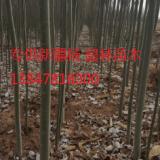 9公分新疆杨