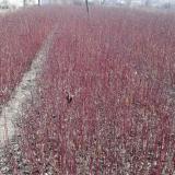 红瑞木、尾毛、珍珠绣线菊