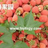 掌叶红树莓