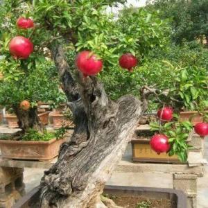 【盆景】树龄30树高100观果盆景价格_图片_行情_报价