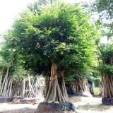 大型吊根小叶榕绿化树桩头