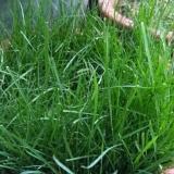 草坪高羊茅种子