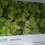 白三叶脱壳种子