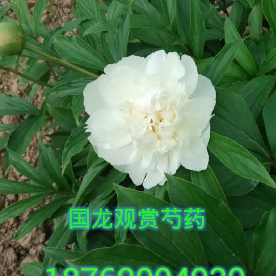 多层白花观赏芍药壮苗