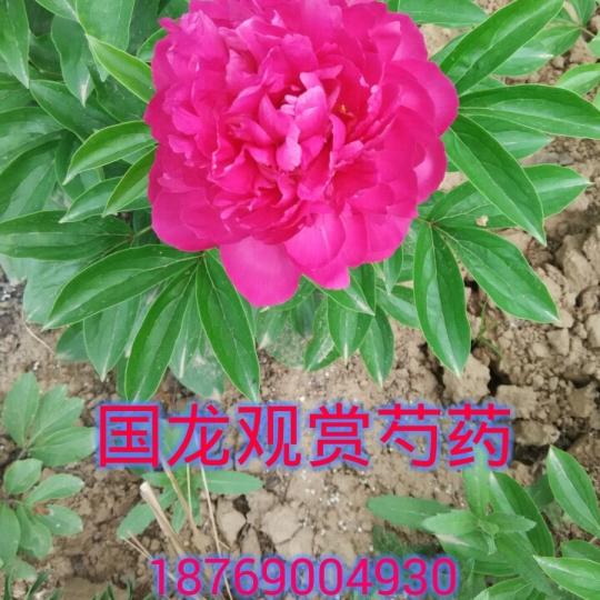 大富贵芍药花多层花瓣