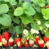 草莓苗 法兰地草莓苗