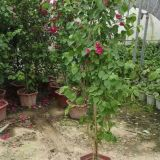 高度2米福建红花三角梅盆景