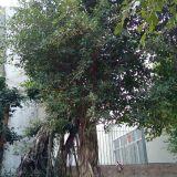 福建30公分假植小叶榕苗木