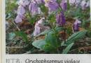 二月兰花种