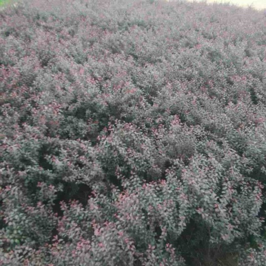8亩地紫叶矮樱,便宜处理