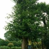 野生移植椤木石栏