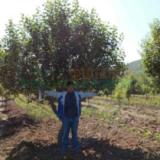 一级八棱海棠树