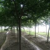 12公分榉树
