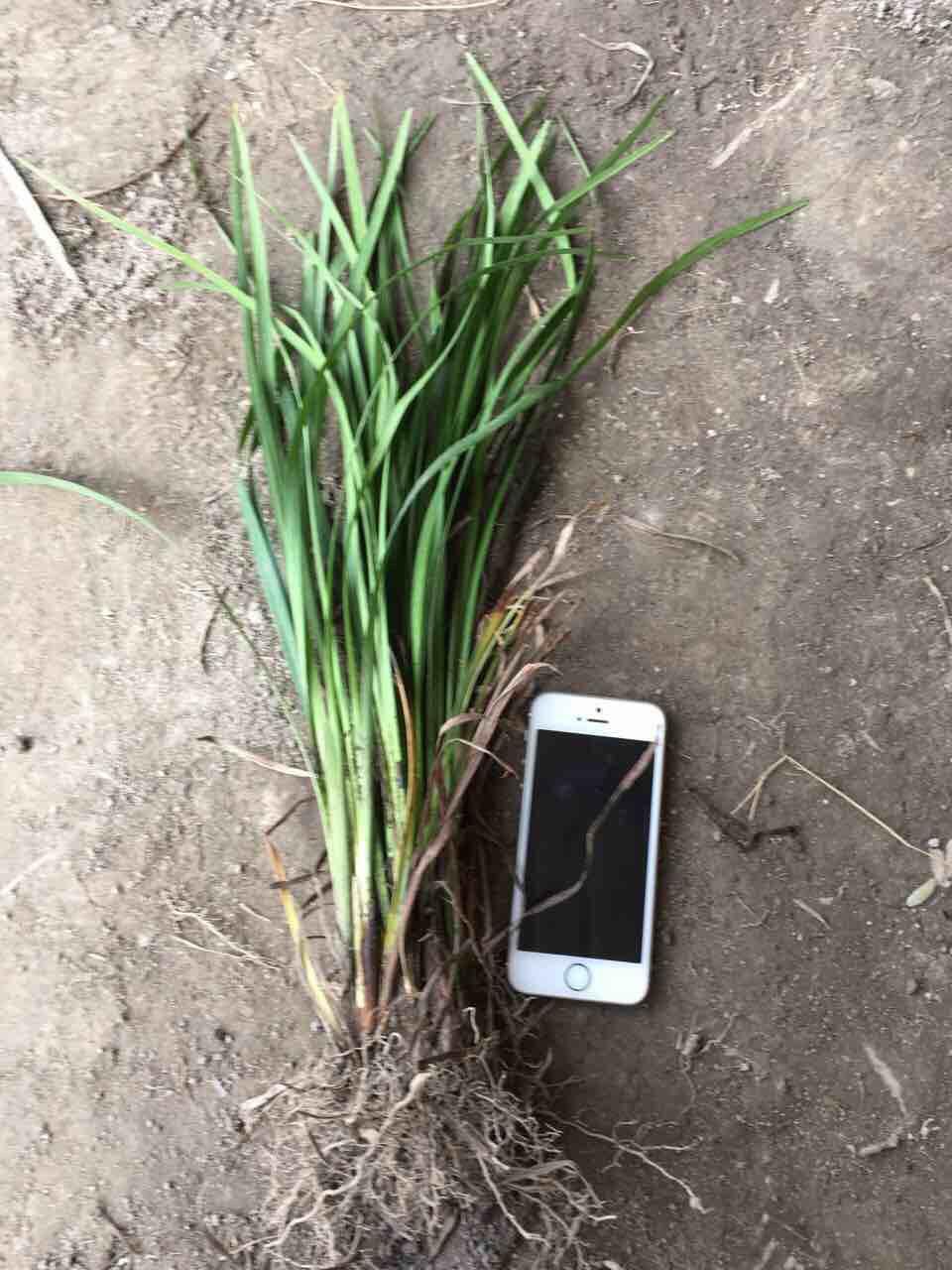 旱三七的植物图片