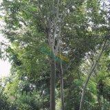 15-16公分榉树