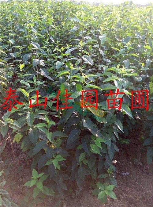 山东杜仲树