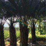 杆高1米布迪椰子