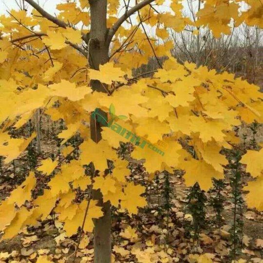 挪威槭—狄波拉
