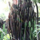 红龙骨多浆植物
