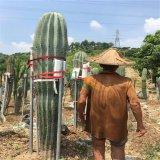 巨人柱沙生大型植物武伦柱园林展览