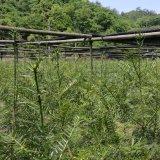 优质榧苗 诸暨香榧种植基地
