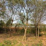 供应优质朴树.丛生朴树.移栽朴树2-40公分