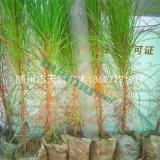 湿地松容器苗