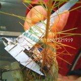 湿地松营养杯苗