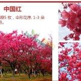樱花(中国红)