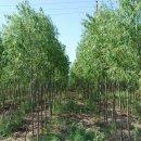 新品种柳树(1号)