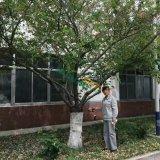 38公分樱花