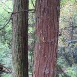 30年以上杉木林