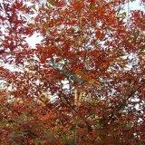 多彩琴叶栎
