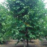 基地直供2-35公分精品白玉兰树苗