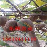 品种猕猴桃树苗