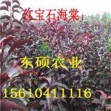 红宝石海棠苗