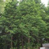 米径6-15公分水杉