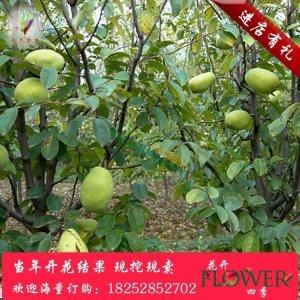 【木瓜树】杆径8木瓜价格_图片_行情_报价 - 中国花木